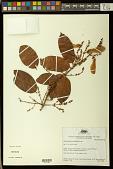 view Heteropterys acutifolia A. Juss. digital asset number 1