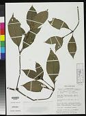 view Psychotria yapaensis Sohmer digital asset number 1