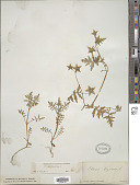 view Ellisia nyctelea L. digital asset number 1