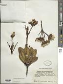 view Gongylolepis benthamiana R.H. Schomb. digital asset number 1