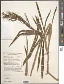 view Paspalum repens P.J. Bergius digital asset number 1