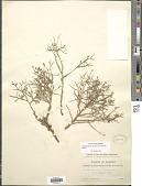 view Stephanomeria pauciflora (Torr.) A. Nelson digital asset number 1