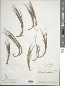 view Carex tamana Steyerm. digital asset number 1