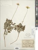 view Bidens ostruthioides (DC.) Sch. Bip. digital asset number 1
