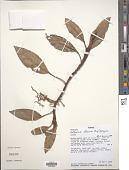 view Anthurium obtusum (Engl.) Grayum digital asset number 1