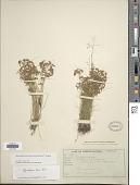 view Rhynchospora tenuis subsp. austro-brasiliensis T. Koyama digital asset number 1