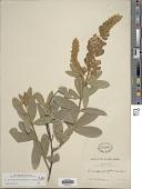 view Eriosema grandiflorum (Schltdl. & Cham.) G. Don digital asset number 1