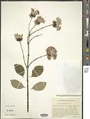 view Dais cotinifolia L. digital asset number 1