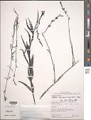 view Buchnera longifolia Kunth digital asset number 1