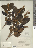 view Miconia rufescens (Aubl.) DC. digital asset number 1