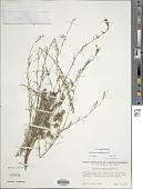view Epilobium brachycarpum C. Presl digital asset number 1