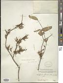 view Woodfordia fruticosa (L.) Kurz digital asset number 1