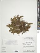 view Trichomanes pilosum Raddi digital asset number 1