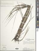 view Rhynchospora cephalotes (L.) Vahl digital asset number 1