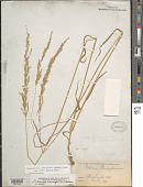 view Sphenopholis intermedia (Rydb.) Rydb. digital asset number 1