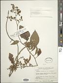 view Mikania granulata B.L. Rob. digital asset number 1