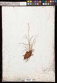 view Carex capillaris L. digital asset number 1