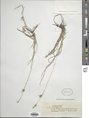 view Carex michelii Host digital asset number 1