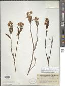 view Kalmia microphylla var. occidentalis (J.K. Small) Ebinger digital asset number 1
