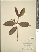 view Gomidesia lindeniana O. Berg digital asset number 1