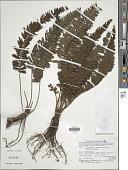 view Cephalomanes javanicum C. Presl var. javanicum digital asset number 1