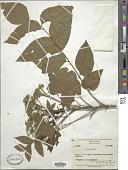 view Micromelum minutum (G. Forst.) Wight & Arn. digital asset number 1