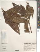 view Croton cuneatus Klotzsch digital asset number 1