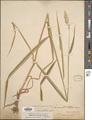 view Phalaris arundinacea var. picta Lam. digital asset number 1