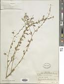 view Crotalaria virgulata Klotzsch digital asset number 1
