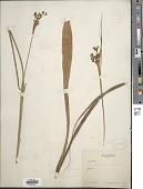 view Cladium mariscus (L.) Pohl digital asset number 1
