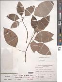 view Pipturus argenteus var. lanosus Schott digital asset number 1