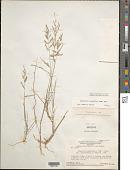 view Eragrostis acutiflora (Kunth) Nees digital asset number 1