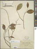 view Aquilaria sinensis digital asset number 1