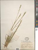view Danthonia spicata (L.) P. Beauv. ex Roem. & Schult. digital asset number 1