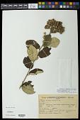 view Waltheria carpinifolia A. St.-Hil. digital asset number 1