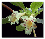 view Alsobia punctata (Lindl.) Hanst. digital asset number 1