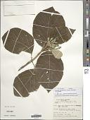 view Tocoyena formosa var. formosa digital asset number 1