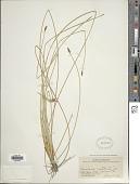 view Eleocharis rostellata (Torr.) Torr. digital asset number 1
