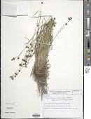 view Rhynchospora polyantha Steud. digital asset number 1