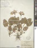 view Primula sieboldii É. Morren digital asset number 1