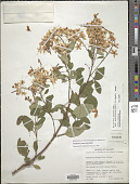 view Galphimia paniculata Bart. digital asset number 1