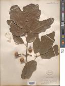 view Quercus imbricaria Michx. x Q. x leana Nutt. digital asset number 1