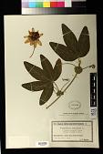 view Passiflora coerulea digital asset number 1