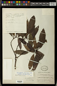 view Daphniphyllum glaucescens Blume digital asset number 1