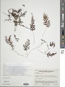 view Hymenophyllum sp. digital asset number 1