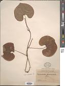 view Dioscorea esculenta (Lour.) Burkill digital asset number 1