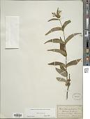 view Diervilla sessilifolia Buckley digital asset number 1