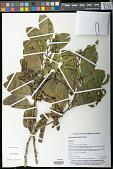 view Acacia simplex (Sparrmann) Pedley digital asset number 1