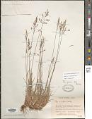 view Poa glauca var. pekulnejensis (Jurtzev & Tzvelev) Prob. digital asset number 1