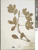 view Arachis hypogaea L. digital asset number 1